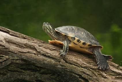 Pseudemus scripta elegans - żółw błotny z USA