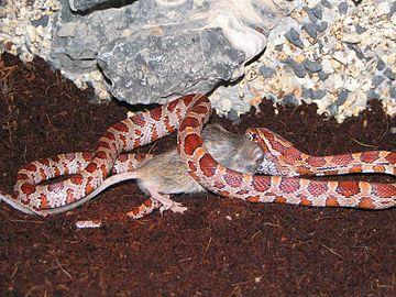 karmienie węża zbożowego