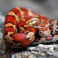 Wąż zbożowy